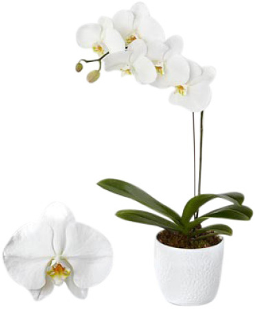 Phalaenopsis Orchid (Sydney only)